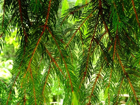 Photo for Hanging Branches Of a Coniferous Tree - Royalty Free Image