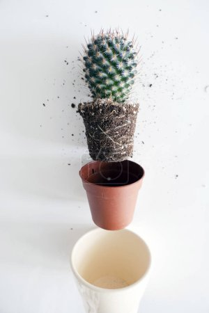 Photo for Transplant a Cactus in a Flower Pot - Royalty Free Image