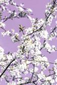 """Постер, картина, фотообои """"Цветочное абстрактное искусство на фиолетовом фоне, винтажные вишневые цветы"""""""