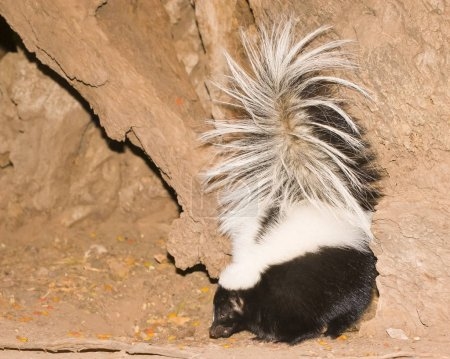 This stiped skunk was caught eating by some rocks in a campground near Sedona, Arizona after dark.