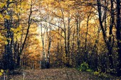 White birches with yellow leaves in the autumn picturesque forest