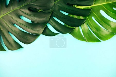 Photo for Three tropical jungle monstera leaves isolated on blue background. Flat lay style. - Royalty Free Image