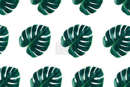 Photo for Pattern of tropical jungle monstera leaves isolated on white background. Flat lay style. - Royalty Free Image