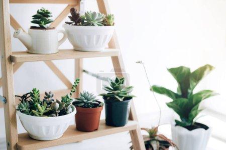 Photo pour Échelle pliante en bois utilisée comme étagères pour les plantes à l'intérieur de la salle à manger naturelle avec murs blancs . - image libre de droit