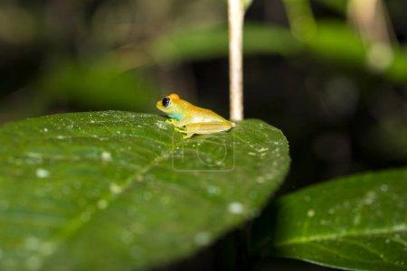 Blueback reed frog Heterixalus madagascariensis