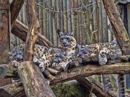 Photo for Female Snow leopard, Uncia ounce, with subadult chick - Royalty Free Image
