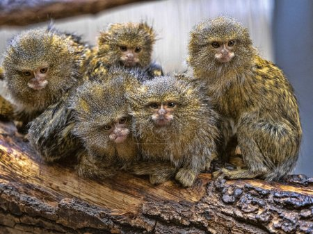 Photo for Satisfied family with cubs, Pygmy marmoset, Callithrix pygmaea niveiventris, - Royalty Free Image