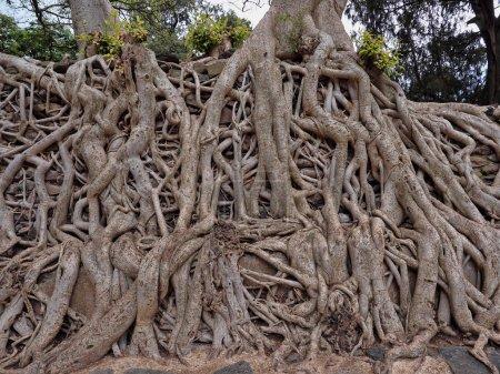 Photo pour Gondar, Ethiopie, Bain Fasil Ides, un enchevêtrement de troncs massifs dans une piscine drainée - image libre de droit