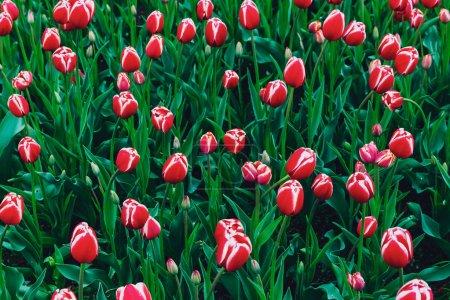Red tulips in Boston Public