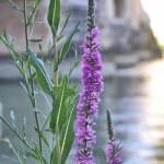 Violet river flower standing under a bridge...