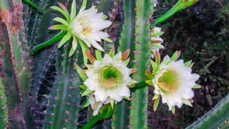 wunderschöne Blüten eines traditionell brasilianischen Kaktus, Mandacaru, gemeiner Kaktus des Caatinga-Bioms und dient als Nahrung für Menschen und Tiere sowie als Zierde