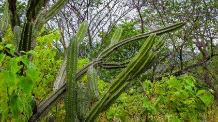 traditionell brasilianischen Kakteen, Mandacaru, gemeinsame Kakteen des Caatinga-Bioms, und dient als Nahrung für Menschen und Tiere, als Zierde und neben der Produktion von Blumen und Früchten