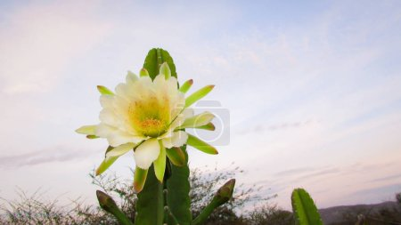 wunderschöne Blüten eines traditionell brasilianischen Kaktus, Mandacaru, gewöhnlicher Kakteen des Caatinga-Bioms, und dient als Nahrung für Menschen und Tiere und als Zierde