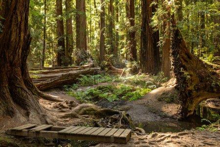 Photo pour Le brouillard côtier dérive dans une forêt dense de séquoias dans le nord de la Californie - image libre de droit