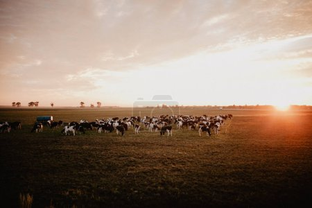 cows in farm field on background
