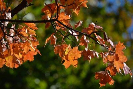 Photo pour Feuilles d'érable automne sur les arbres. L'automne est la saison des feuilles qui tombent et de beaux arbres. - image libre de droit
