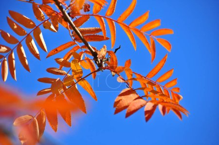 Time of leaf fall - bright leaves on the branches. Image of autumn leaves on the trees in October.