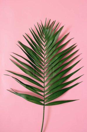 Photo pour Feuilles de palmier tropical sur fond rose pastel isolé . - image libre de droit
