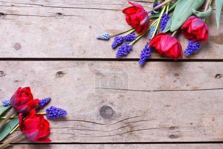 Photo pour Des tulipes rouges et des fleurs musquées bleues sur fond texturé vintage. Nature morte florale. Concentration sélective. Place pour le texte . - image libre de droit
