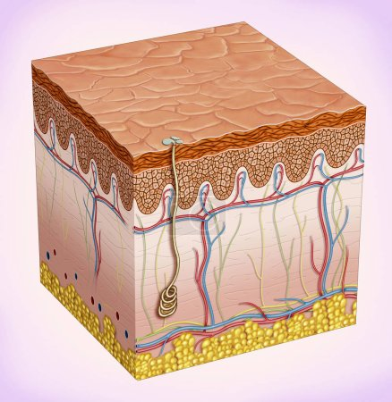 Photo for Schematic illustration of the skin. It provides protection and isolation of the environmental organism. There are three main layers that theThey make up: epidermis, dermis, subcutaneous tissue and skin accessories such as hair, sebaceous glands and - Royalty Free Image