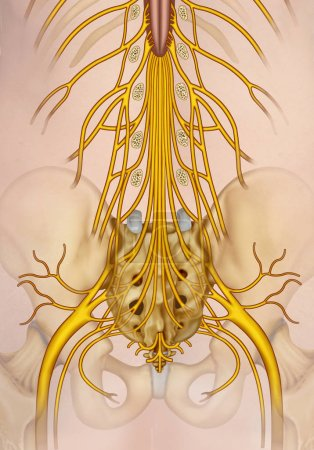Lumbar and sacral nerve branch illustration. The s...