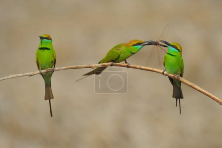 Bright green birds sitting on tree twig and eating dragonfly