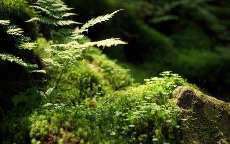 Photo pour La mousse et les plantes sur les pierres. Fond naturel dans la forêt. Composition estivale dans la forêt. Couleur verte comme arrière-plan . - image libre de droit