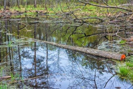 Photo pour Paysage de printemps - les berges de la rivière dans la forêt avec des arbres qui sont détruits par les castors. - image libre de droit