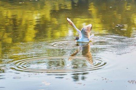 Photo pour La Mouette flotte sur l'étang et se reflète dans l'eau. - image libre de droit