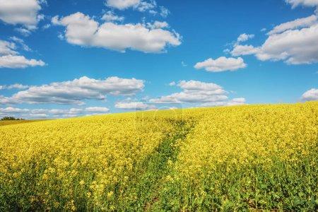 Photo pour Champ de colza et ciel bleu avec des nuages dessus . - image libre de droit