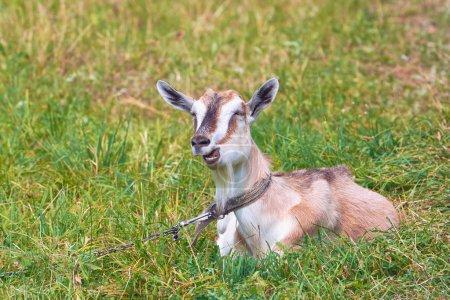 Photo pour Chèvre sur un pré se trouve rivés à chaîne. - image libre de droit