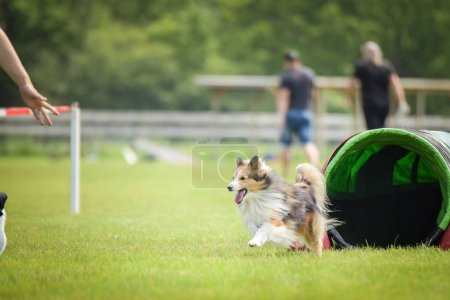 Photo for Dog sheltie in agility tunel. Amazing day on czech agility competition. They are middle expert it means A2. Amazing handler with her. - Royalty Free Image