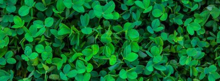 Clover, shamrock. Lawn. Natural background. The traditional symbol of the day of St. Patrick.