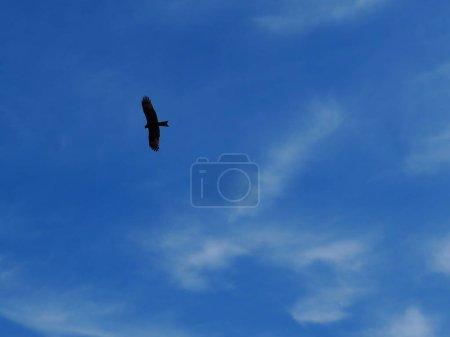 big bird of prey flying in blue sky