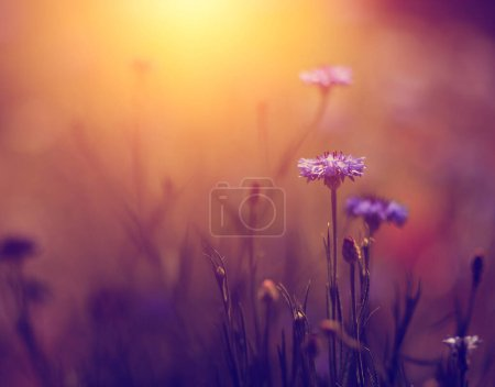 Photo for Vintage photo of beautiful wild flower in sunset - Royalty Free Image