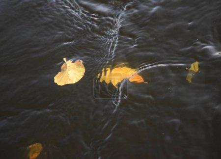 Photo pour Feuille d'automne flottante dans l'eau - image libre de droit