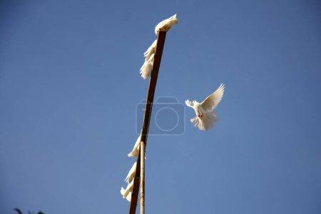 Photo pour Colombe blanche volant dans le ciel bleu. de retour à domicile pour le groupe de colombes. - image libre de droit