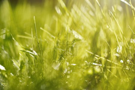 Photo pour Vue proche d'herbe verte avec la rosée du matin au soleil - image libre de droit
