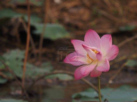 lotus Fleur rose Tige dure soulevée au-dessus de l'eau Les tiges de la fleur sont rondes La coquille dure des épines est alignée avec toute la tige