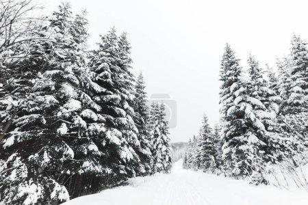 Photo pour Pins recouverts de neige blanche dans les Carpates - image libre de droit