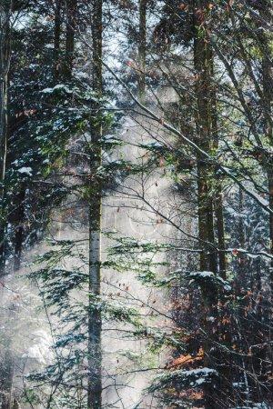 Photo pour Forêt dans les Carpates, avec le soleil à travers les branches des arbres verts - image libre de droit