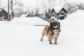 """Постер, картина, фотообои """"выборочный фокус собаку стоя возле дома покрыты снегом"""""""