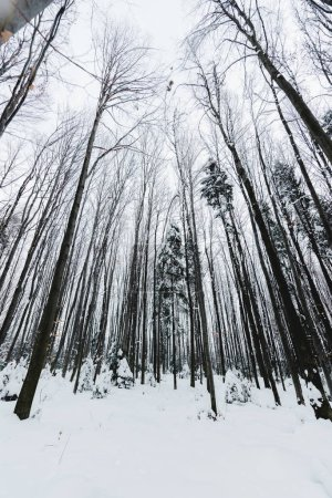 Photo for Low angle view of tree trunks in snowy winter forest - Royalty Free Image
