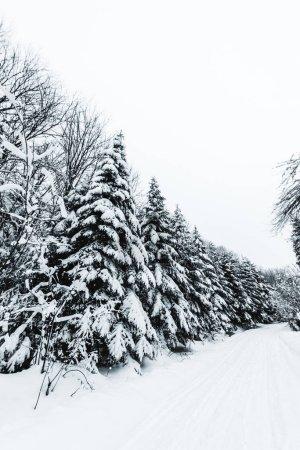 Photo pour Sapins couverts de neige dans la forêt blanche d'hiver dans les montagnes des Carpates - image libre de droit