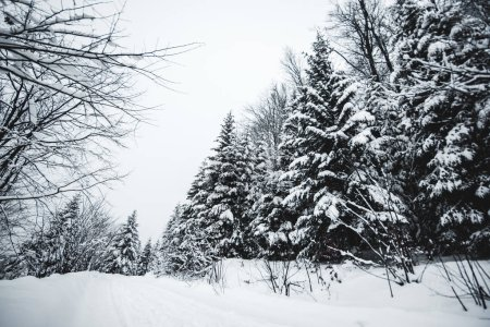 road in carpathian mountains covered with snow among spruces