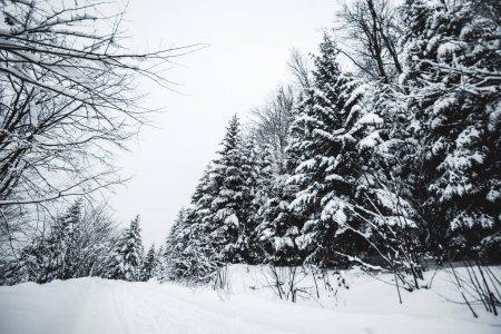 Photo pour Route dans les montagnes carpates recouvertes de neige parmi les épicéas - image libre de droit