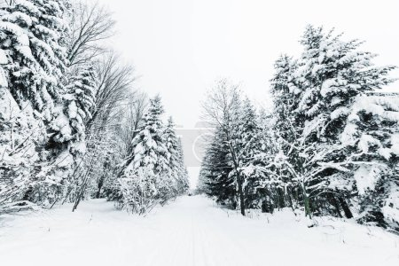 Photo for Road in carpathian mountains covered with snow among spruces - Royalty Free Image