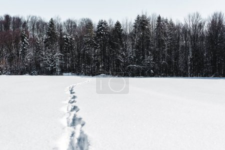 Photo for Trees in winter forest with footprints on snow in carpathian mountains - Royalty Free Image