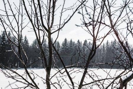 Photo pour Foyer sélectif de branches sèches avec forêt sur fond - image libre de droit