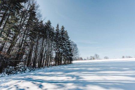 hohe trockene Bäume in den Karpaten mit Schatten auf Schnee